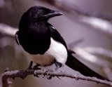 The Magpie: renowned for gathering shiny bits of kit and hoarding them in its nest