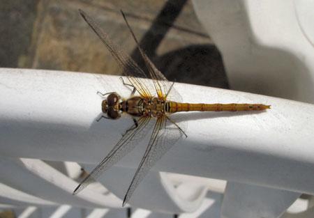 Hello. I'm a dragonfly.