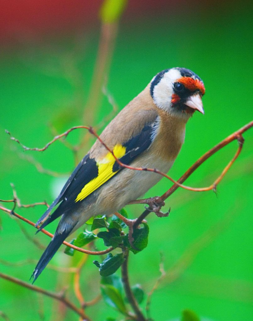 One Goldfinch