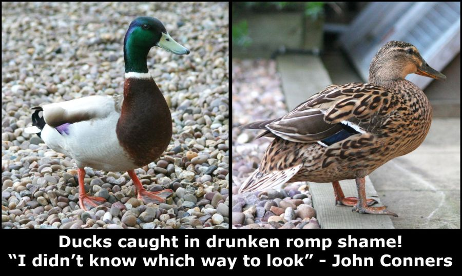Romping Ducks