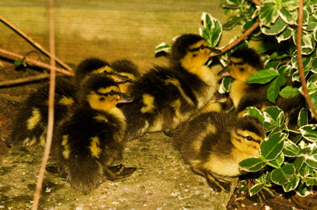 duckchicks