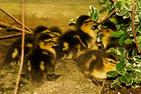 duckchicks