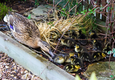Mother-And-Ducklings