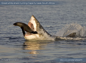 A great white shark attacking a seal