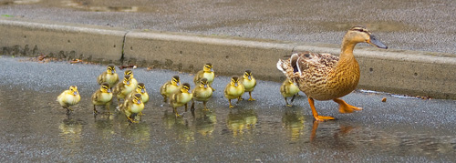 Formation marching with ducklings