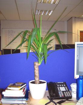My new yucca plant