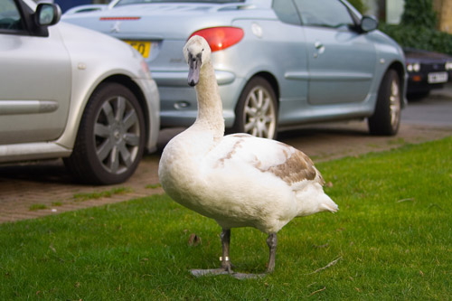 Our swan blocking my way to the car