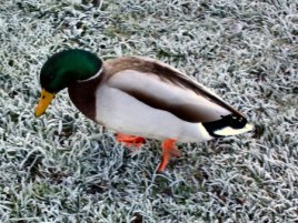 One Cold Duck