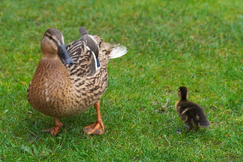 Duck And Duckling