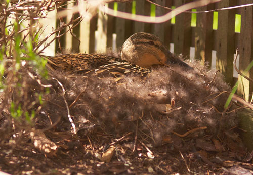 Our Duck On Her Nest