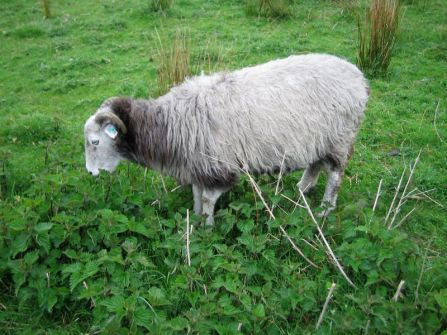 Sheep Eat Nettles