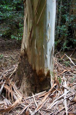 A Bark-Shedding Tree