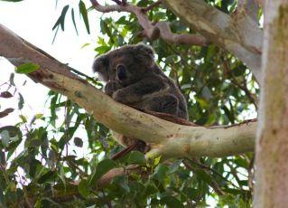 A Sleepy Koala