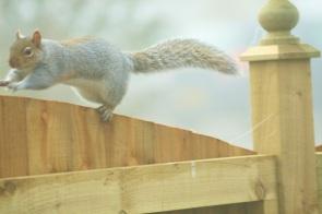 Pouncing Squirrel