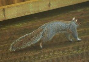 Slinking Squirrel