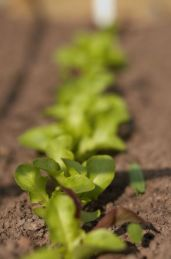 A Line Of Lettuce