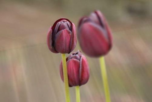 Rachael's Tulips