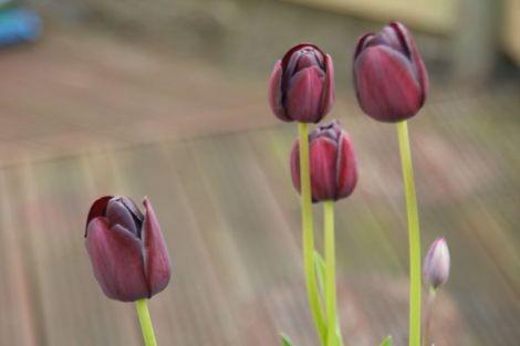 More Of Rachael's Tulips