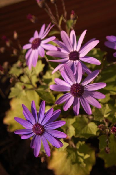 Some Senetti