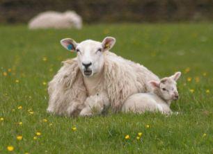 It's Also Lamb Season