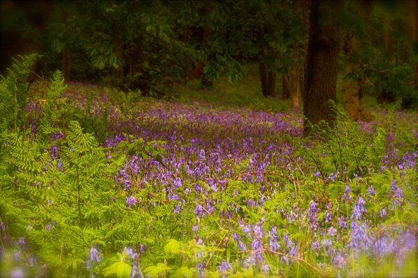 Bluebell Wonderland