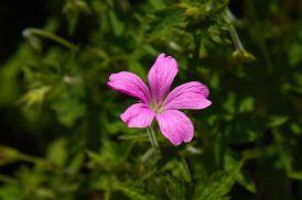 A Pink Flower Closeup