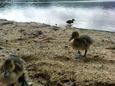 Attack Of The Giant Ducklings