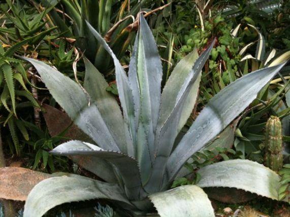 A Spiky Aloe Vera Type Plant