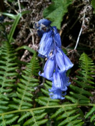 One Of Many Bluebells