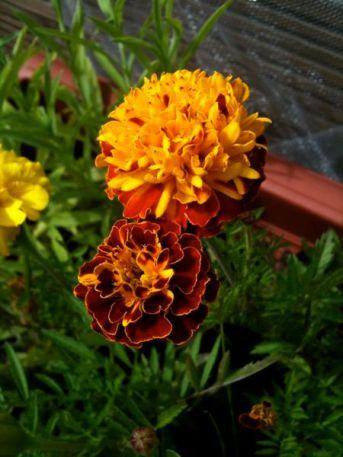Some Marigolds