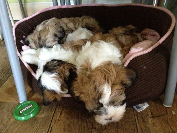 Lhasa Pups