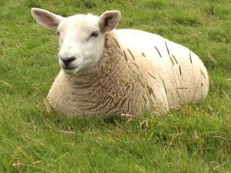 A Sheep Close Up