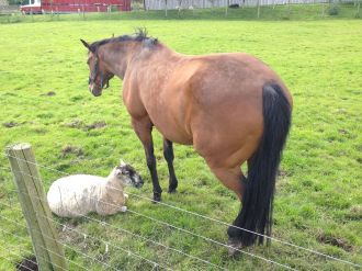 One Sheep And His Horse