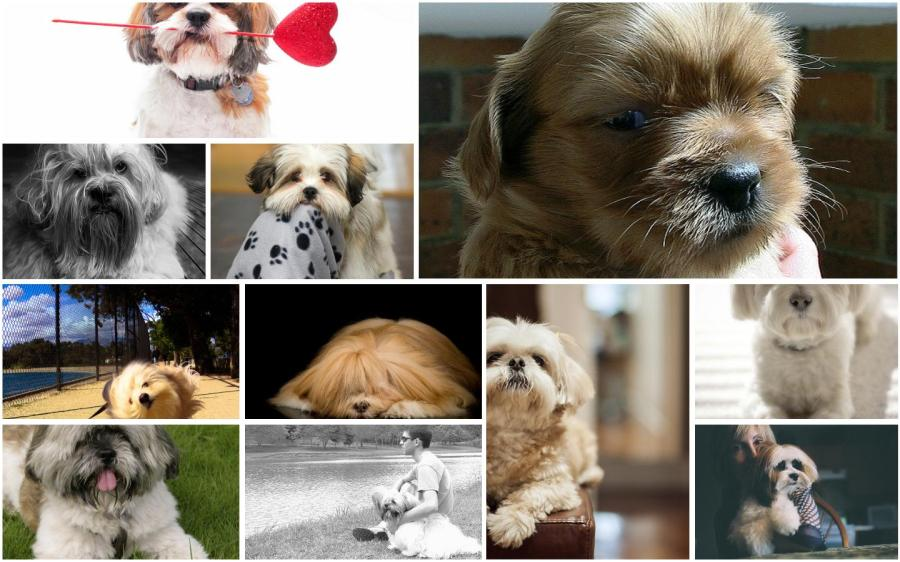 A Lhasa Apso Montage